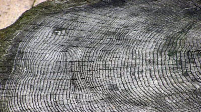 Anillos de árboles revelan un evento solar extremo hace 7,500 años