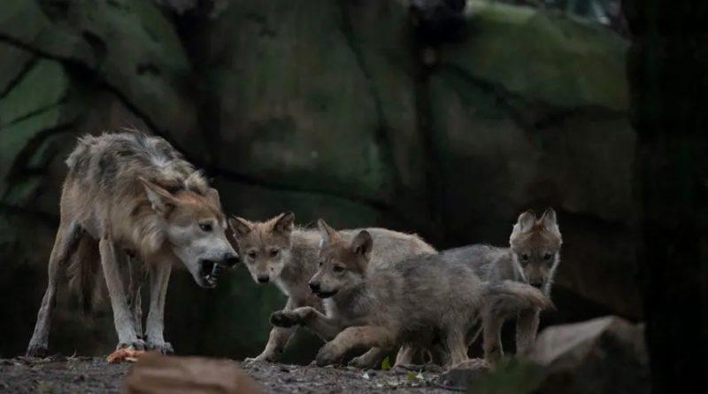 Nace camada de lobos en México, esperanza para evitar extinción