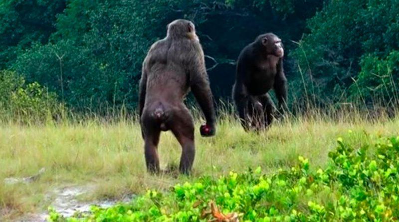 Observan por vez primera ataques letales de chimpancés sobre gorilas