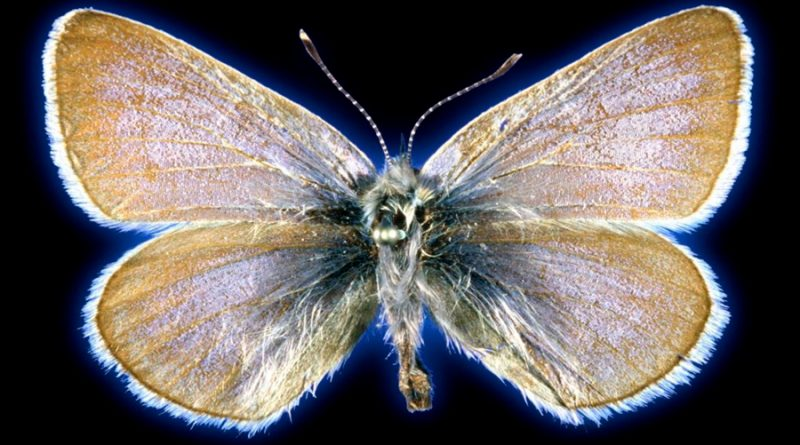 ADN confirma el primer insecto extinguido por el ser humano en EU