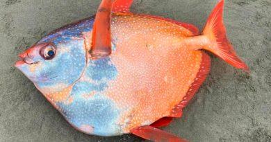 Enorme pez de un metro es encontrado en playas de Estados Unidos