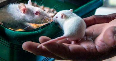 Científicos de dos universidades de EEUU lograron erradicar el cáncer con metástasis en ratones y perros