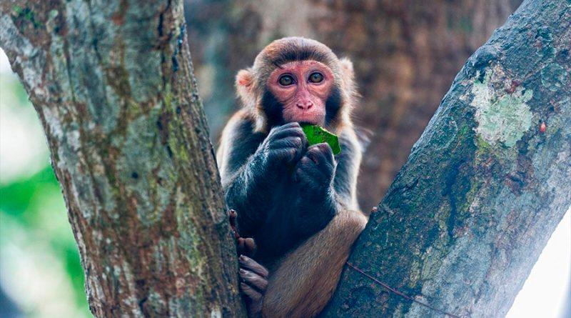 China reporta la primera muerte de un humano por el raro virus del mono B
