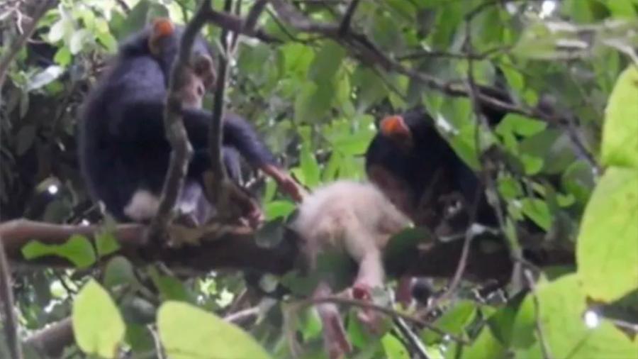 Discriminación entre primates: chimpancés salvajes asesinan a un bebé albino
