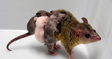 Científicos crean el primer marsupial transgénico