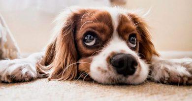 Los perros saben cuando un humano les miente
