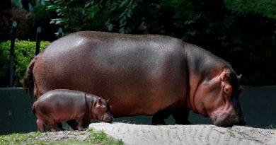 Un hipopótamo bebé es la nueva atracción de un zoológico mexicano