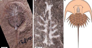 Gracias a un mineral, un cangrejo herradura de 310 millones de años conserva su cerebro intacto