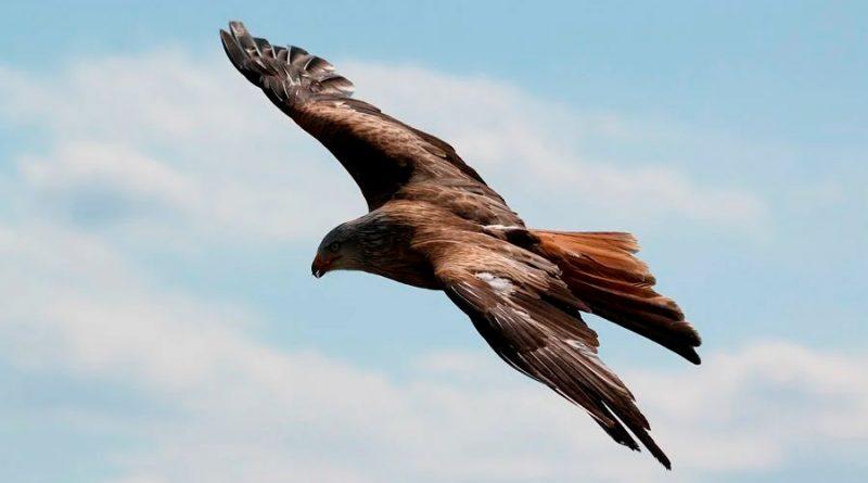 Aves rapaces están en declive en todo el orbe