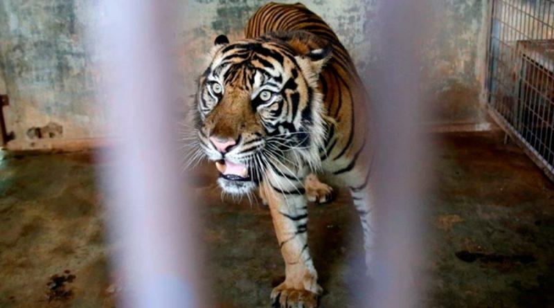 Indonesia investiga cómo pudieron contagiarse de covid dos tigres de Sumatra