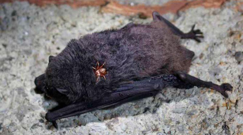 El enigma de las moscas vampiras que chupan sangre de murciélago