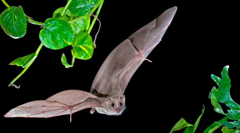 Los murciélagos cuentan con un 'GPS cerebral' para guiarse al volar
