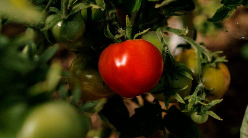 Un estudio explica cómo el tomate y otras frutas pueden llegar a 'llorar' y lanzar un aviso al tallo
