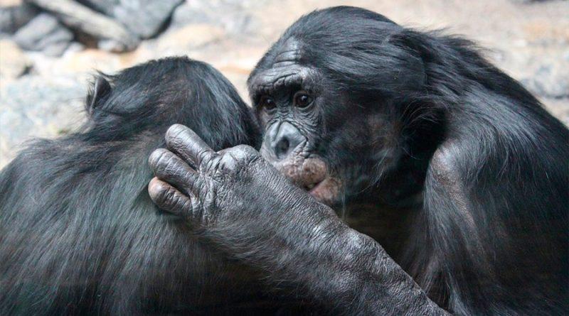 Los simios también siguen normas de cortesía en sus interacciones