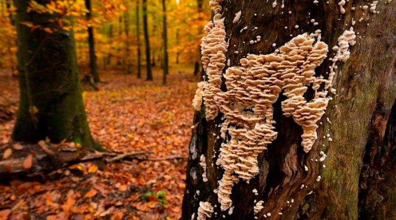 Investigadores mexicanos desarrollan método para controlar plaga de hongos en pinos