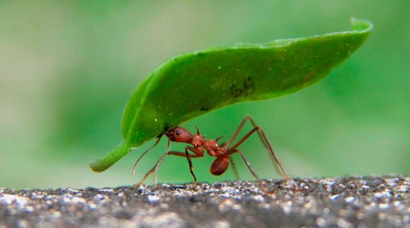 Científicos descubren por qué las hormigas tienen una fuerza excepcional