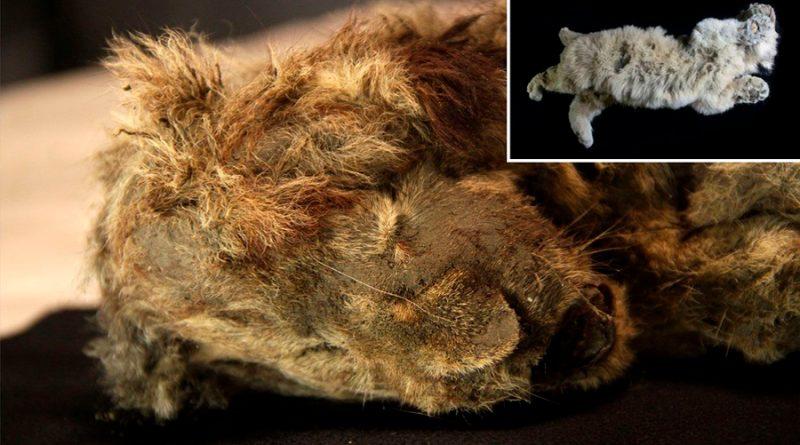 Encuentran crías de león de 4,000 años perfectamente conservadas