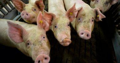¿Qué pasaría si la peste porcina llega a México?
