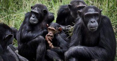 Ser amigo del jefe, ayuda; también a los chimpancés