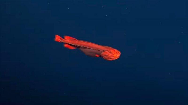 Hallan en profundidades de la costa a uno de los animales mas raros del mundo