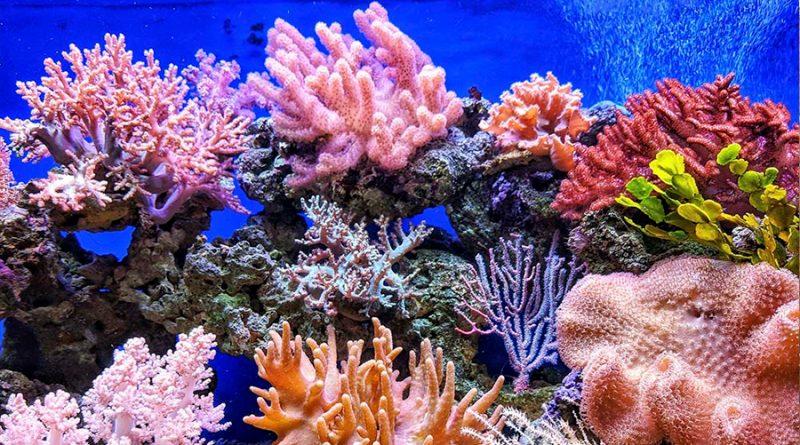 Coctel de bacterias beneficiosas aumenta supervivencia de corales