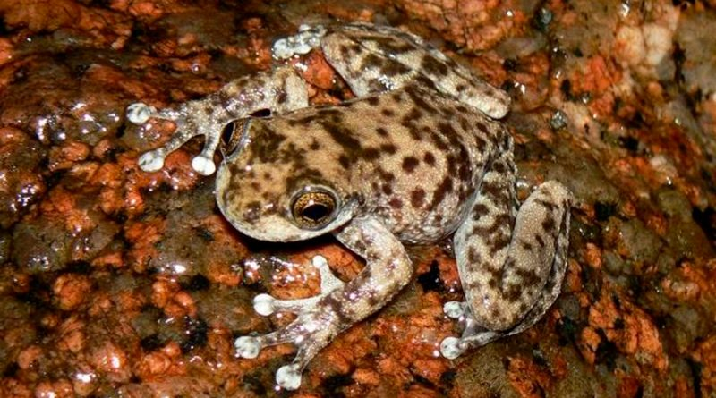 Unas 26 especies de ranas corren un gran riesgo de desaparecer antes del 2040