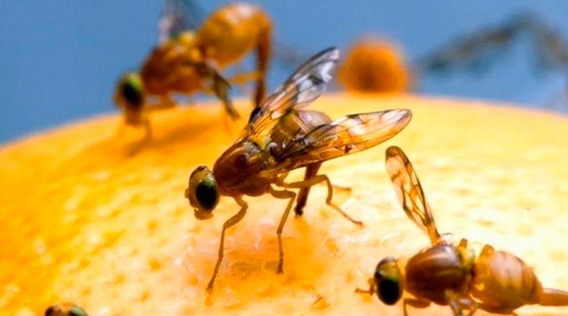 Las moscas son iguales a los humanos: en aislamiento comen más y duermen menos