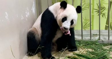 Nace en Singapur panda engendrado mediante inseminación artificial
