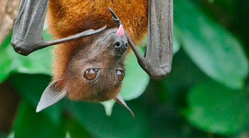 COVID-19 no circula en ninguna población de murciélagos, dice UNAM
