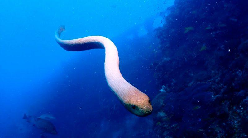 Atracción fatal: los científicos culpan los ataques de las serpientes marinas al deseo sexual