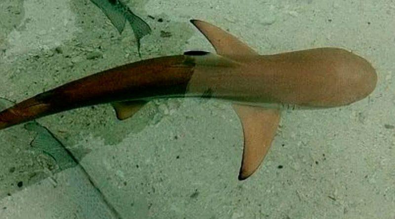 Insólito: nace una cría de tiburón dentro de un tanque solo habitado por hembras