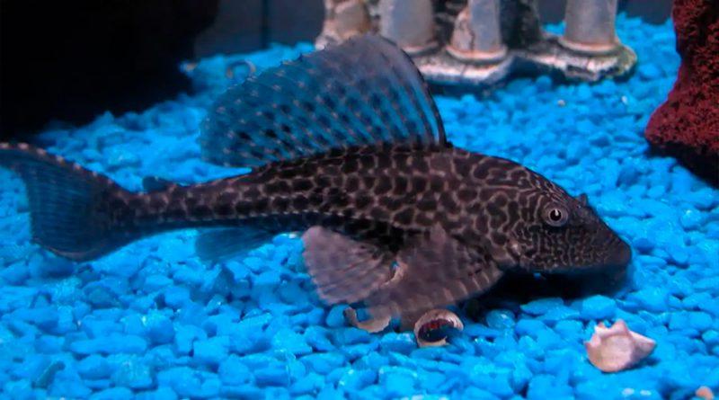 Pez diablo: la especie invasora que está acabando con los peces nativos de México