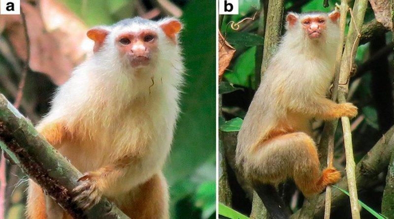 Descubren una nueva especie de tití en la Amazonia