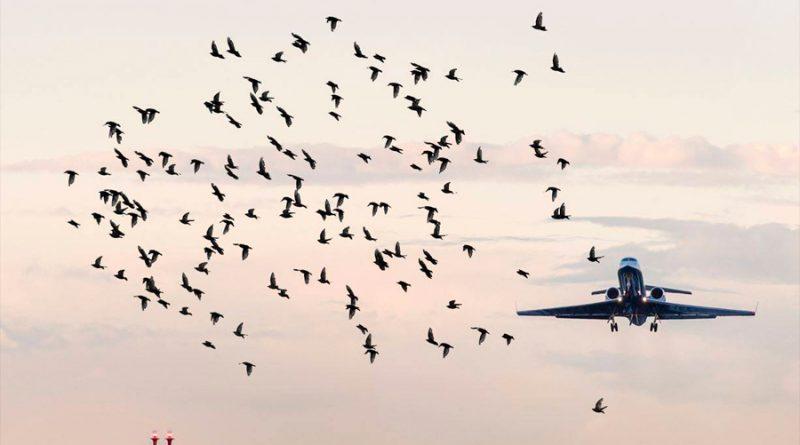 Cómo evitar las colisiones entre aves y aviones