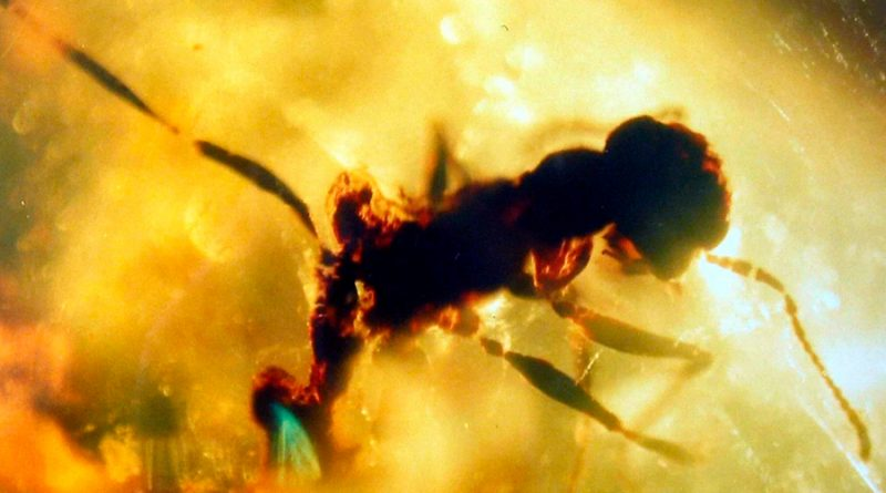 Hallan una hormiga del infierno de 99 millones de años en un ámbar devorando una cucaracha