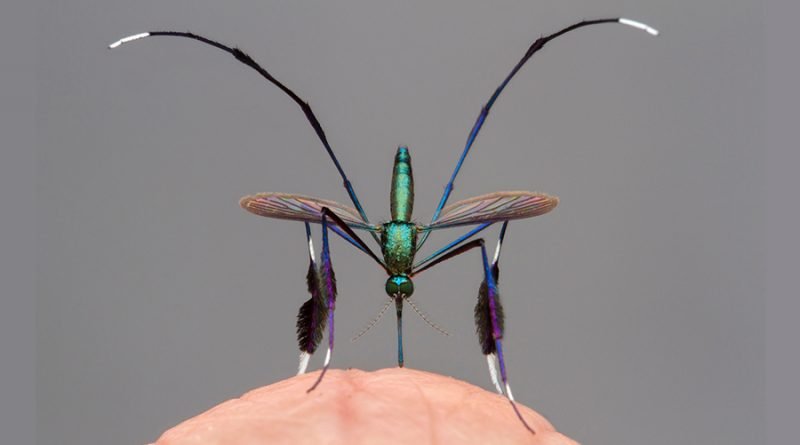"""La foto del mosquito """"más hermoso del mundo"""" y otras del concurso más prestigioso sobre la naturaleza"""