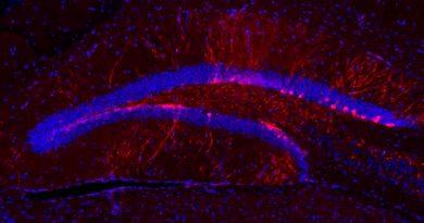Descubren cómo un neurotransmisor potencia las conexiones neuronales