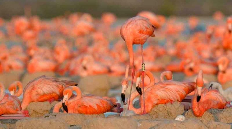 México: Reportan 15 mil nidos de flamenco rosado en la Reserva de la Biósfera Ría Lagartos