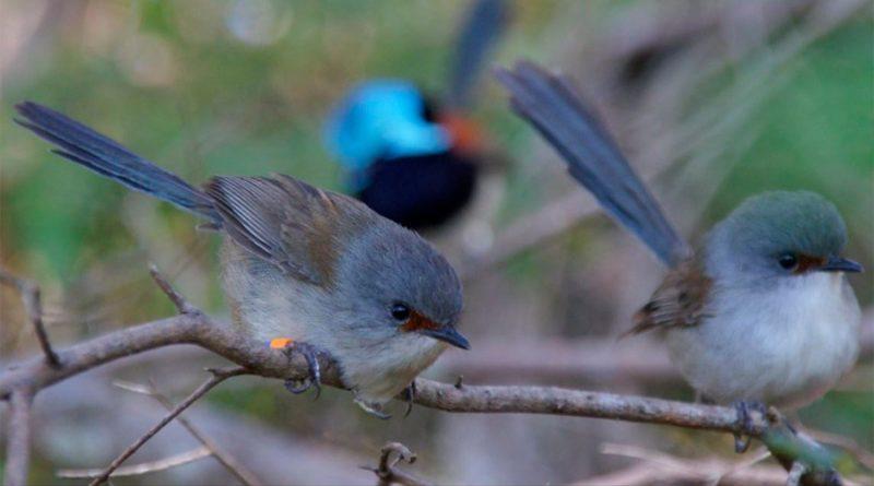 Especies de aves aprenden sonidos ya en el interior del huevo