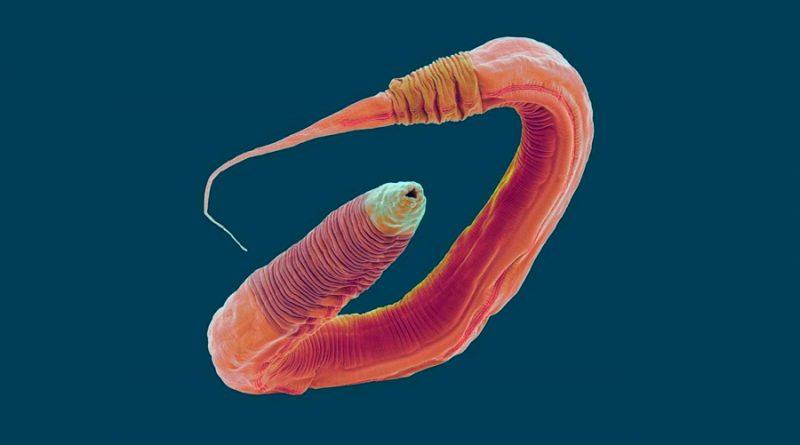 Los gusanos transfieren sus aprendizajes a sus compañeros