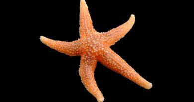 Señales químicas inhiben apetito en estrellas de mar como en humanos
