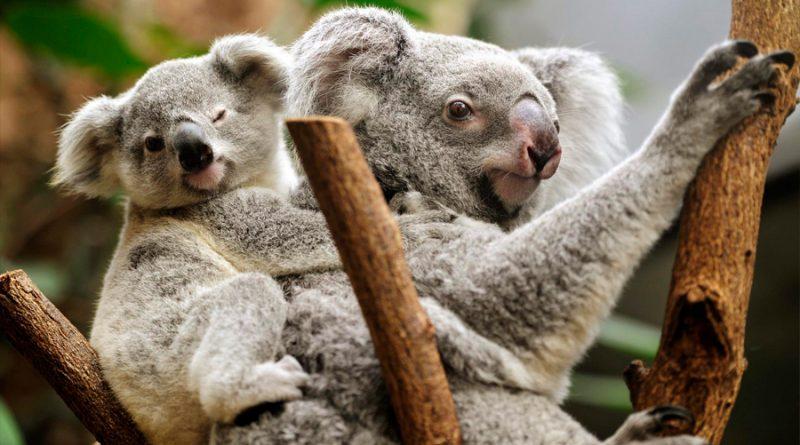 El virus que mata a los koalas se transmite de madre a cría, según un estudio