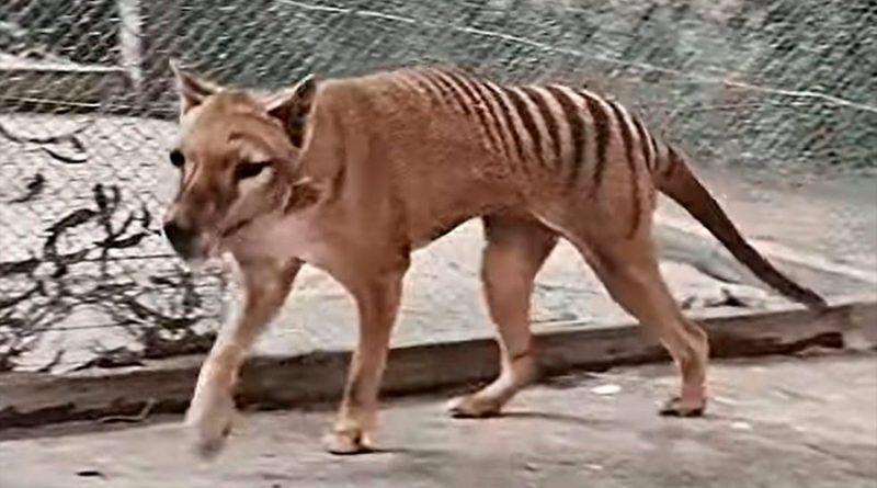 El último tigre de Tasmania, recreado a todo color