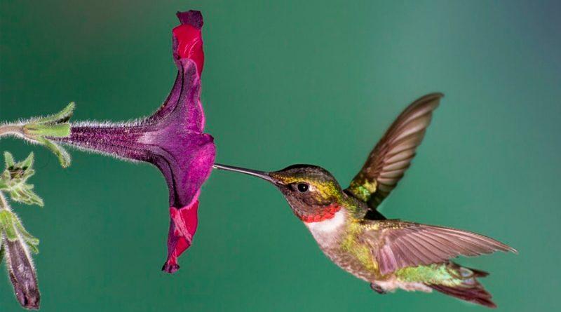 Los colibríes poseen un activo sentido del olfato que les permite detectar el peligro y evitarlo