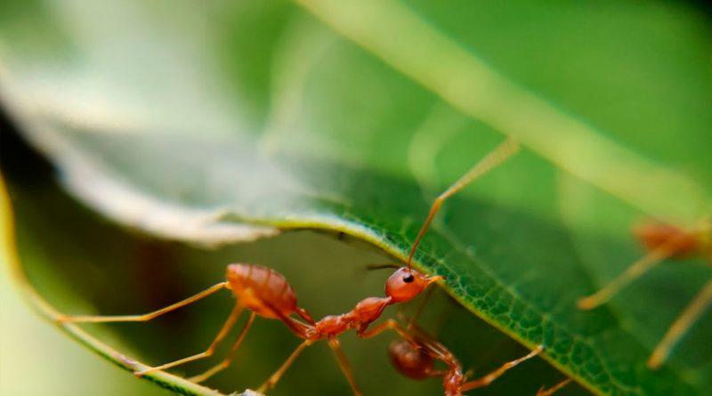 Descubren por qué los dientes de las hormigas son tan afilados