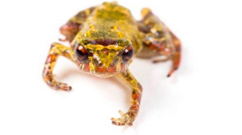 Científicos descubren rana cuyo tamaño es menor que el de una moneda pequeña