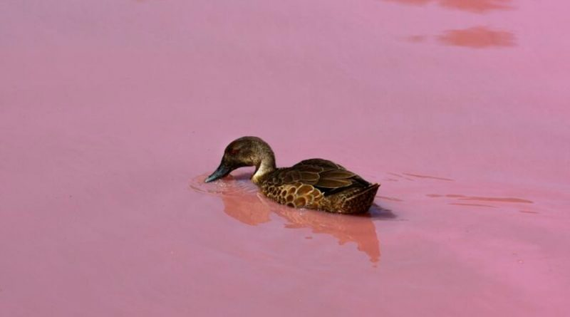 Científicos australianos descubren que patos pueden hacer sonidos como como humanos
