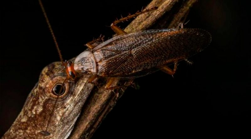 A través de una fotografía, descubren que las cucarachas se alimentan de lágrimas
