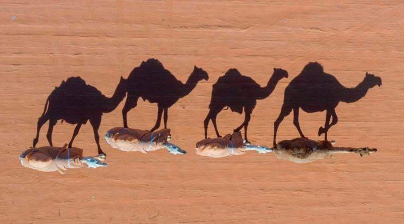 En Dubái se clonan camellos para ganar carreras y concursos de belleza