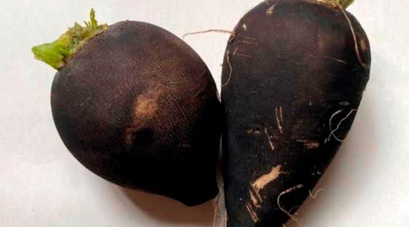 Investigadores de la UNAM crean producto a base de rábano negro para tratar cálculos biliares
